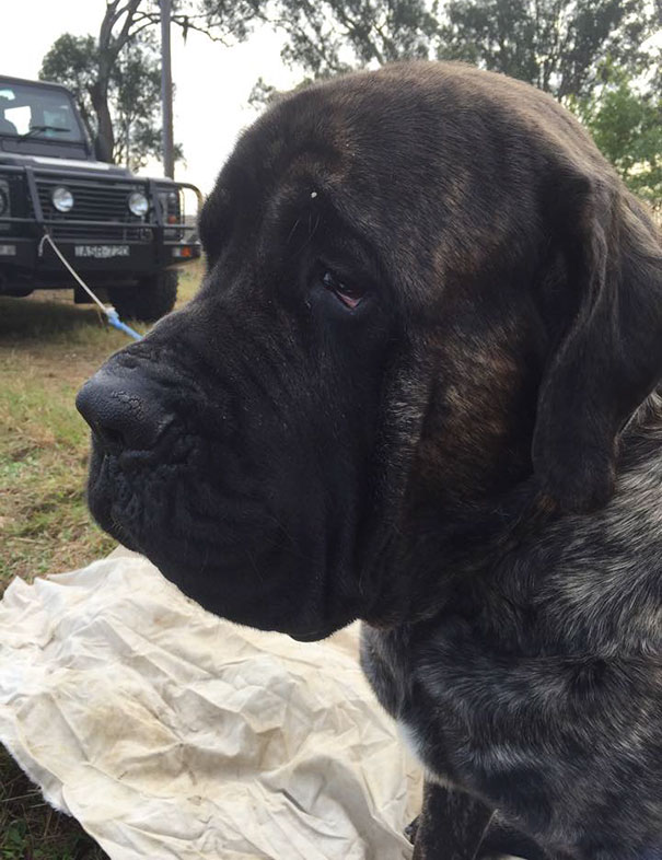 biggest-dog-crushes-owner-mastiff-australia-4