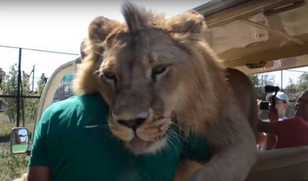Арыстан туристерді өзін сипап, құшақтауға мәжбүрледі (видео)